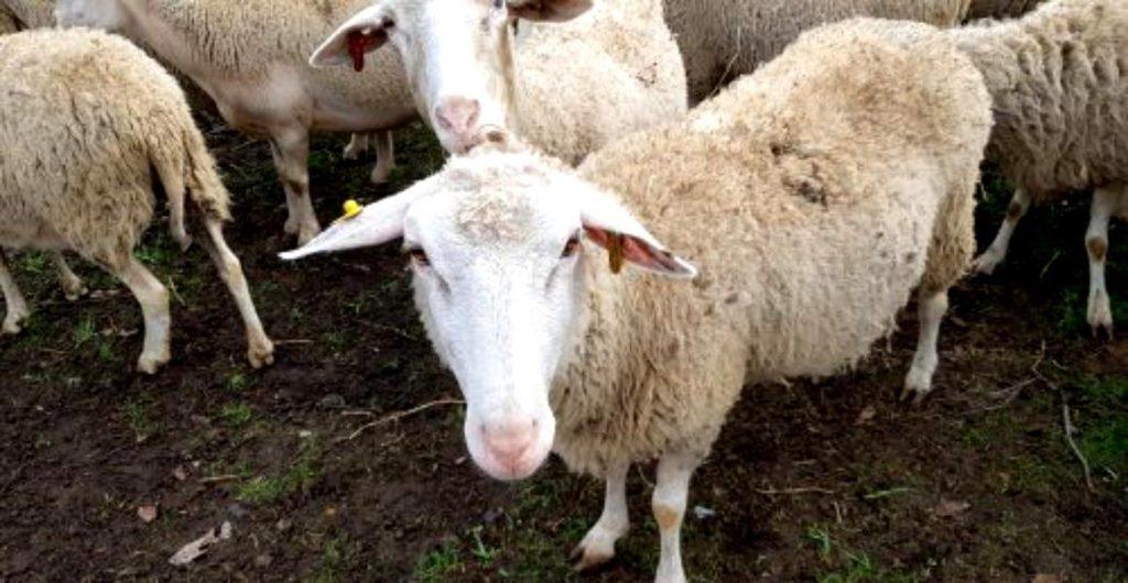 Expunerea la oi ar putea duce la apariția sclerozei multiple